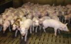 La filière porcine française en obsolescence programmée