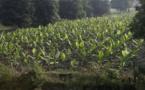 Le distributeur touche 56 % de la valeur d'une banane en provenance du Cameroun