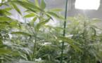 Légalisation du cannabis : quelles conséquences économiques ?